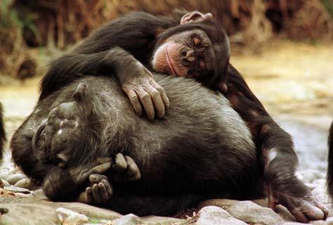 w_chimpances-descansando