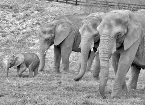 w_Elefantes